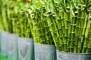 bamboo in bucket